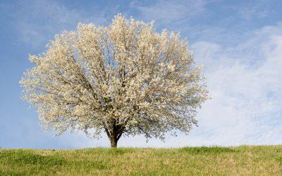 3 Reasons to Avoid Bradford Pear Trees